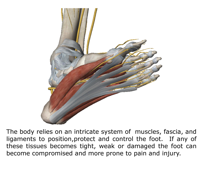 foot-anatomy-overview