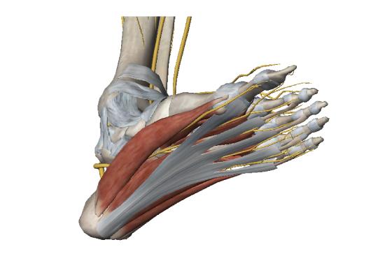 plantar-foot-anatomy
