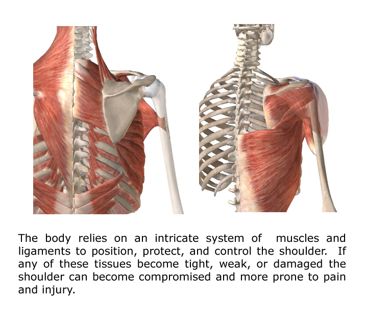 shoulder-anatomy-overview - Gray Chiropractic St.Catharines Spine ...